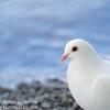 Dove at Bowness Bay 2014