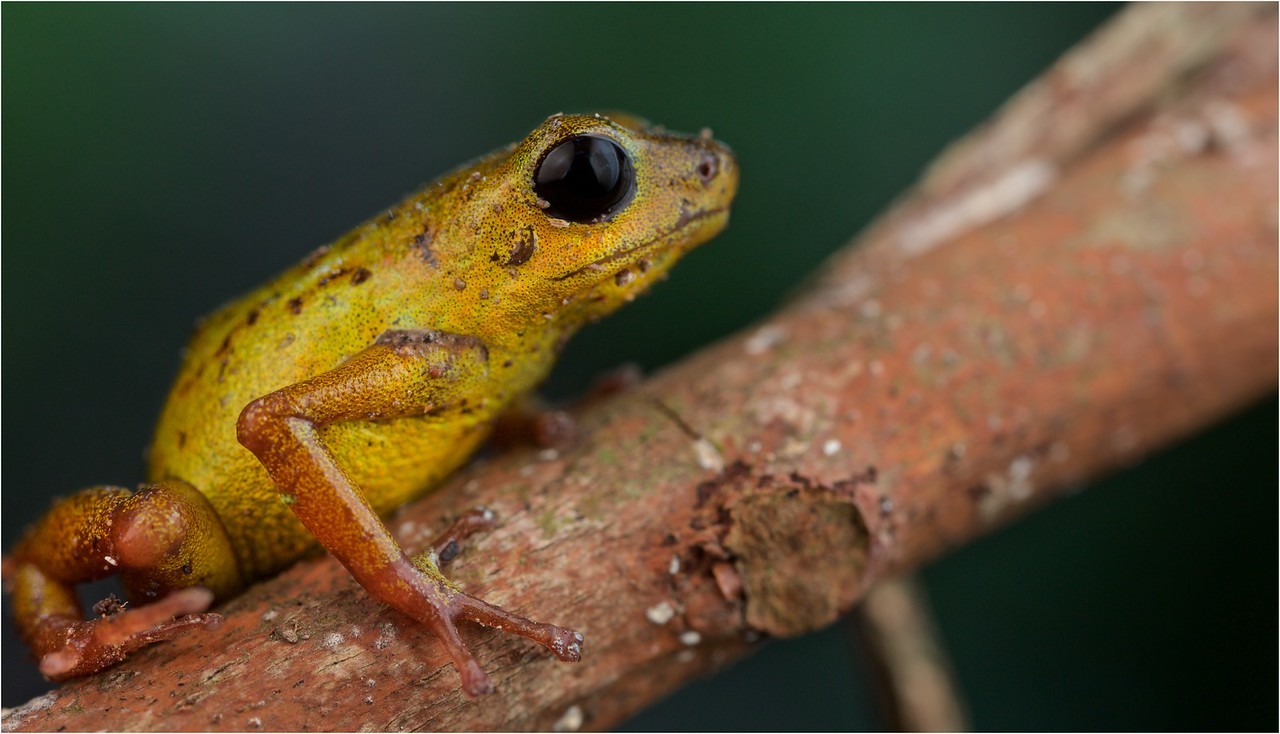"Strawberry poison arrow frog (Oophaga pumilio) ""Pastores"" morph"