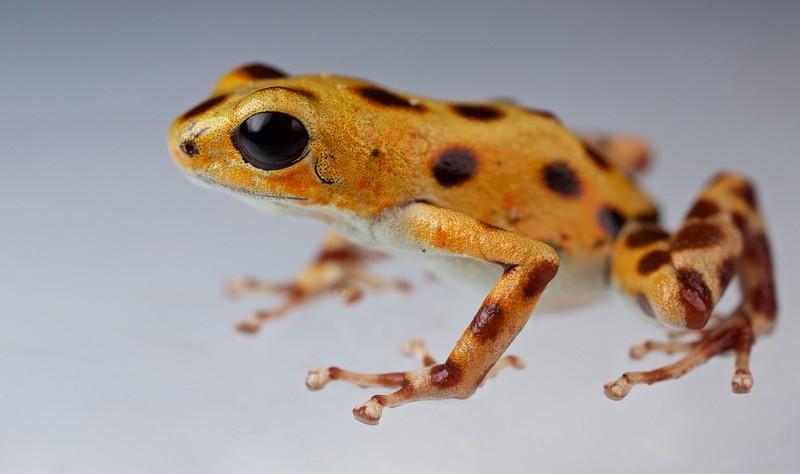 "Strawberry poison arrow frog (Oophaga pumilio) ""Bastimentos"" morph intermediate colour form"