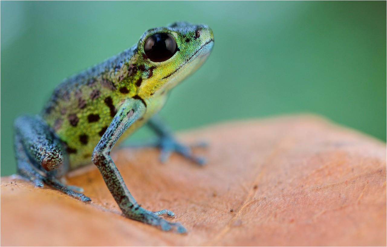 "Strawberry poison arrow frog (Oophaga pumilio) ""Isla Popa"" morph"