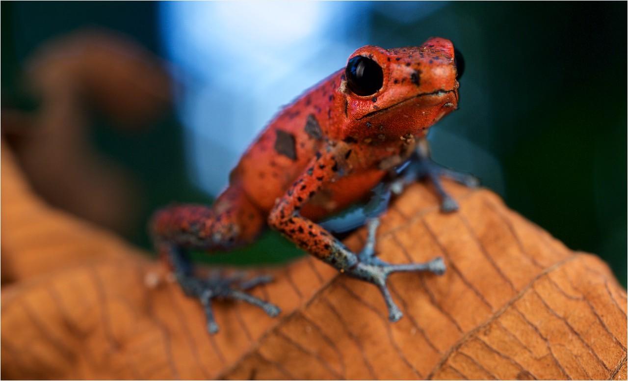 "Strawberry poison arrow frog (Oophaga pumilio) ""Cristobal"" morph"