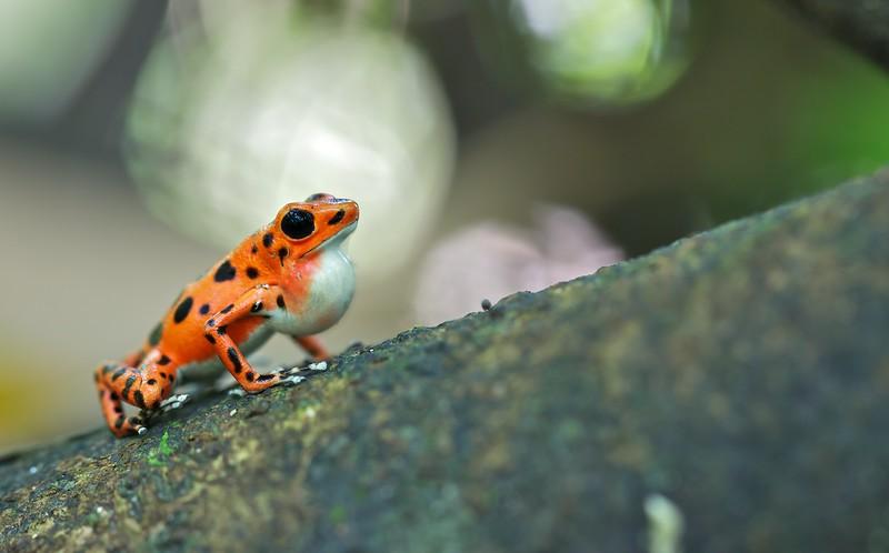 "Calling male strawberry poison arrow frog (Oophaga pumilio) ""Bastimentos"" morph"