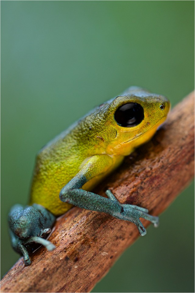 "Strawberry poison arrow frog (Oophaga pumilio) ""Cayo de Agua"" morph"
