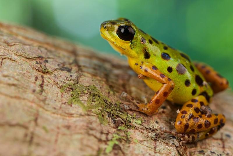 "Strawberry poison arrow frog (Oophaga pumilio) ""Colon"" morph"