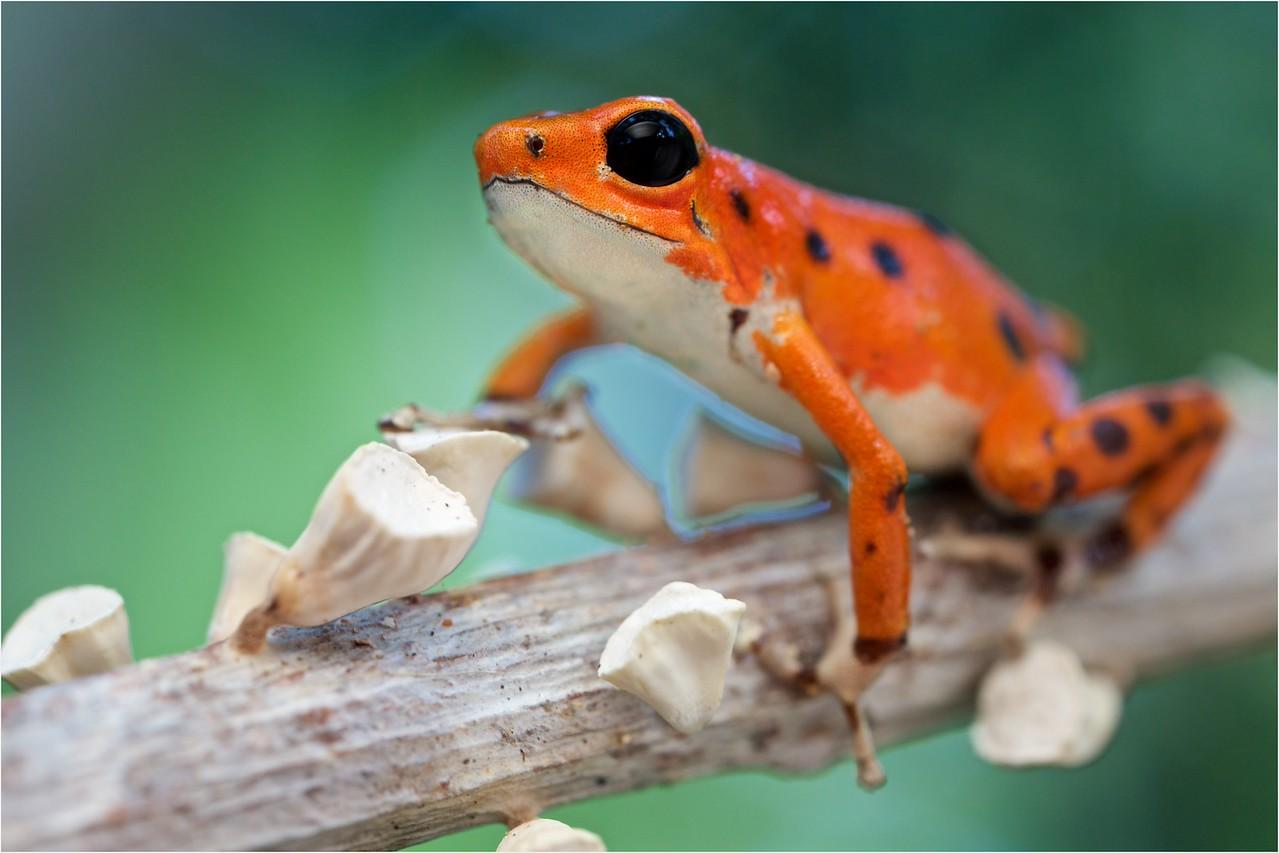 "Strawberry poison arrow frog (Oophaga pumilio) ""Bastimentos"" morph orange colour form"