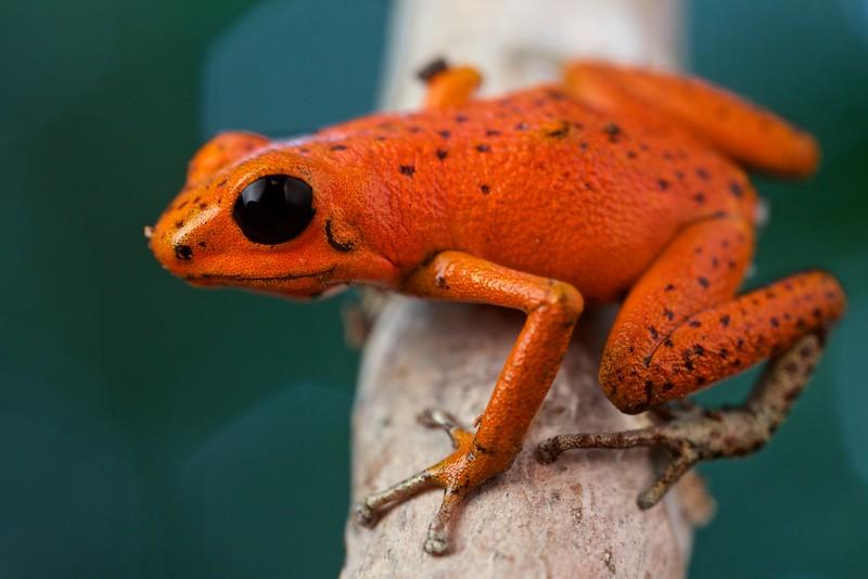 "Strawberry poison arrow frog (Oophaga pumilio) ""Solarte"" morph orange colour form"