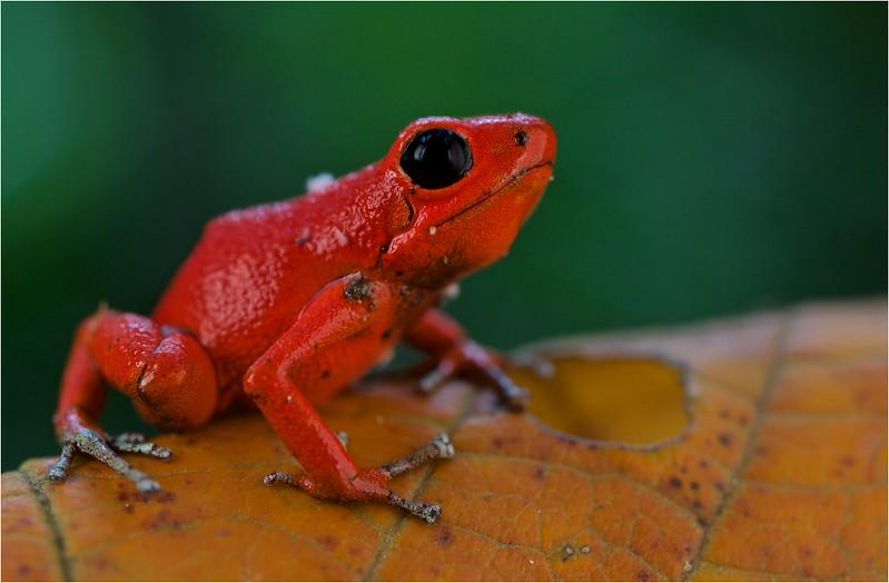 "Strawberry poison arrow frog (Oophaga pumilio) ""Solarte"" morph red colour form"