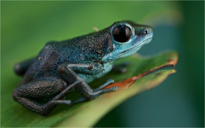 "Strawberry poison arrow frog (Oophaga pumilio) ""Loma Partida"" morph"