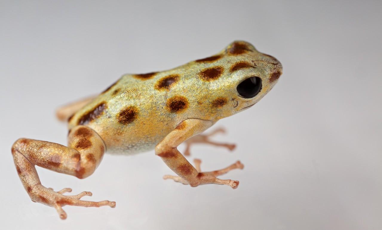 """Strawberry poison arrow frog (Oophaga pumilio) """"Bastimentos"""" morph white colour form"""