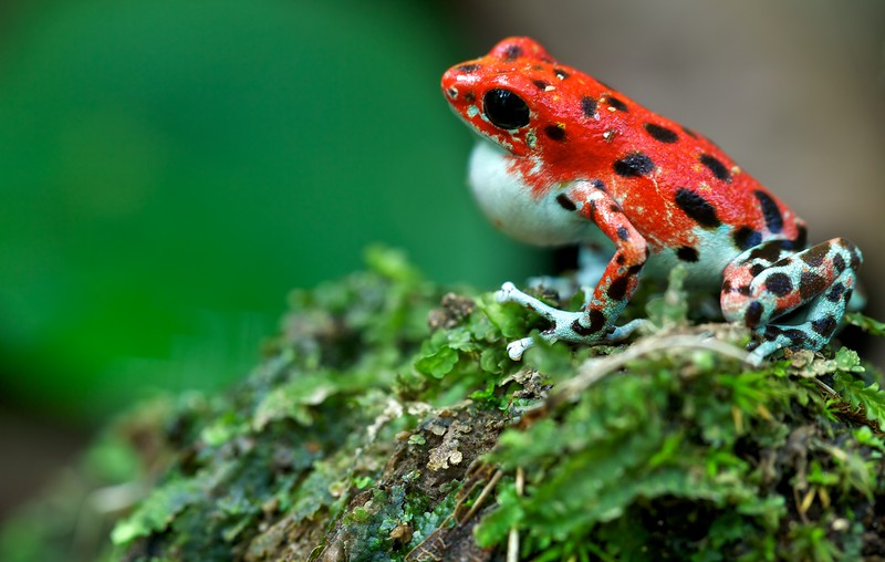 """Calling male strawberry poison arrow frog (Oophaga pumilio) """"Bastimentos"""" morph red colour form"""