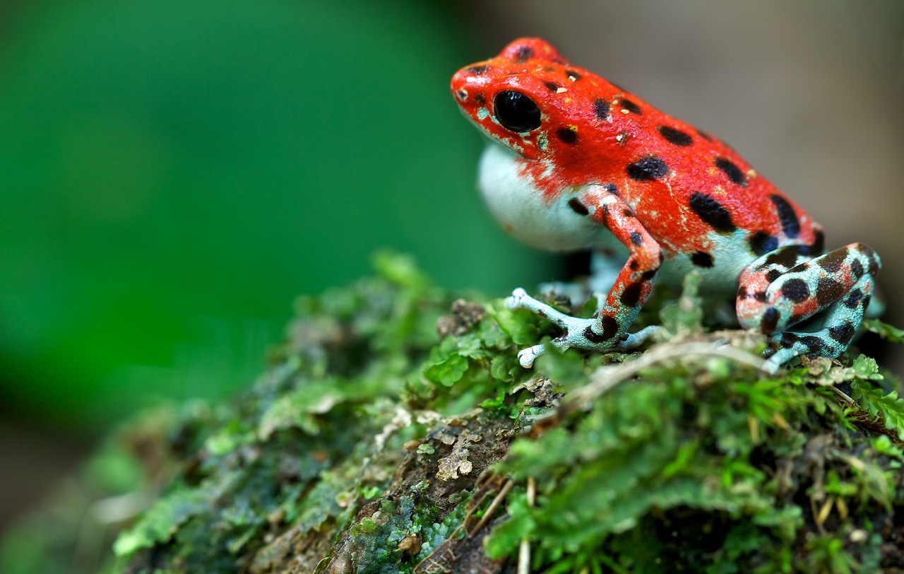 "Calling male strawberry poison arrow frog (Oophaga pumilio) ""Bastimentos"" morph red colour form"