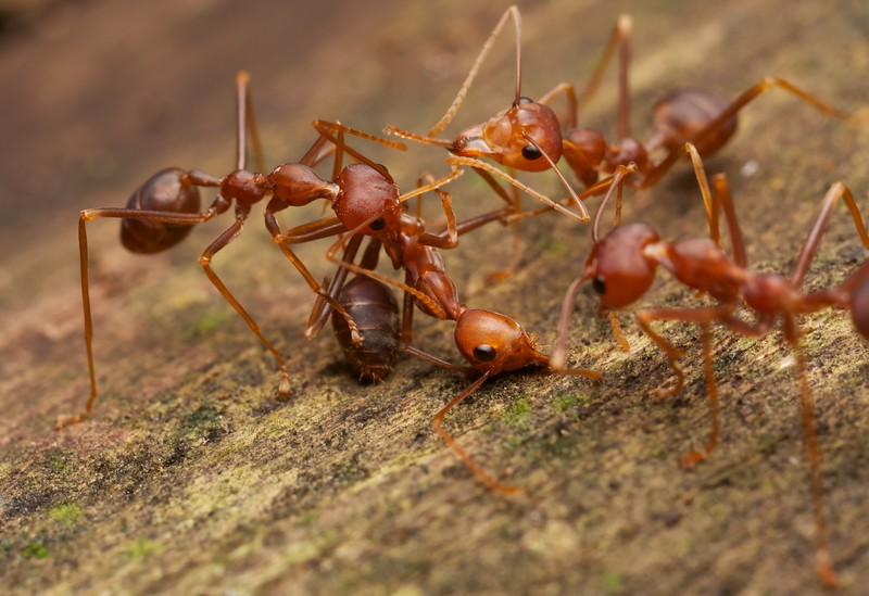 Weaver ants (Oecophylla smaragdina) intraspecific predation