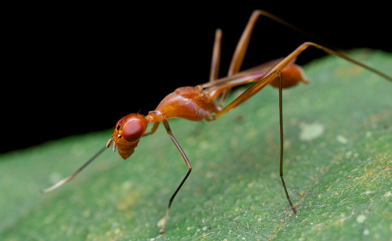 Weaver ant-mimicking micropezid fly (Grammicomyia sp.)