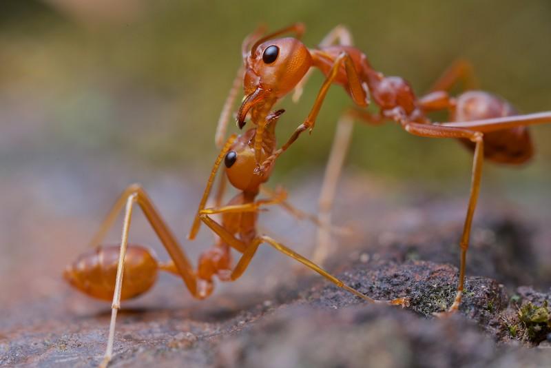 Weaver ant (Oecophylla smaragdina) trophollaxis