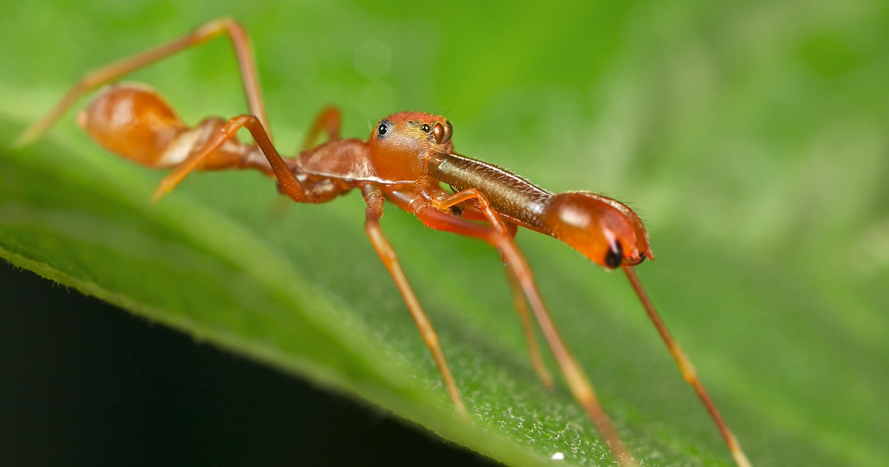 Male weaver ant-mimicking jumping spider (Myrmarachne plataleoides)