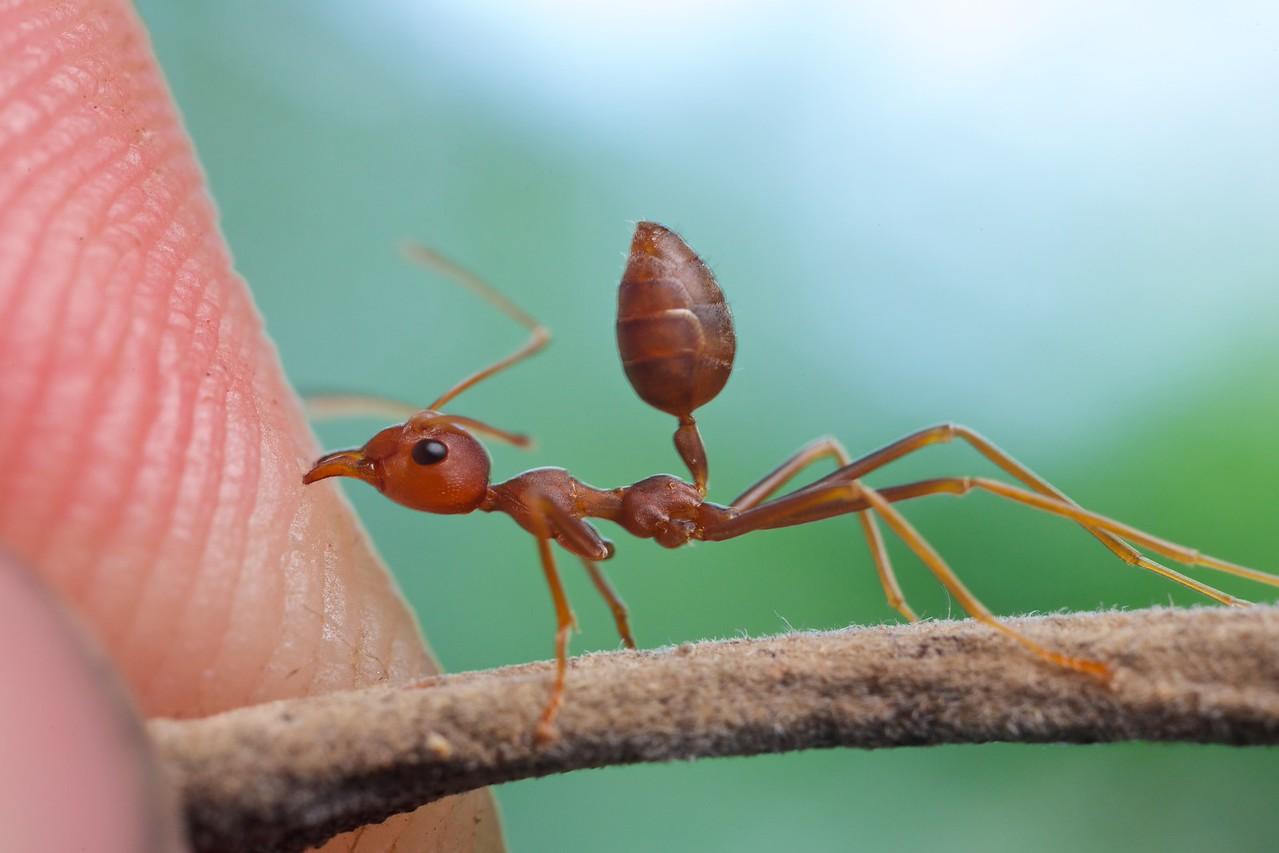 Weaver ant (Oecophylla smaragdina) aggression