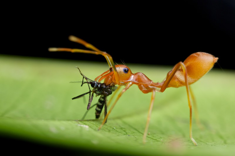 Weaver ant- mimicking jumping spider (Myrmarachne plataleoides) with prey