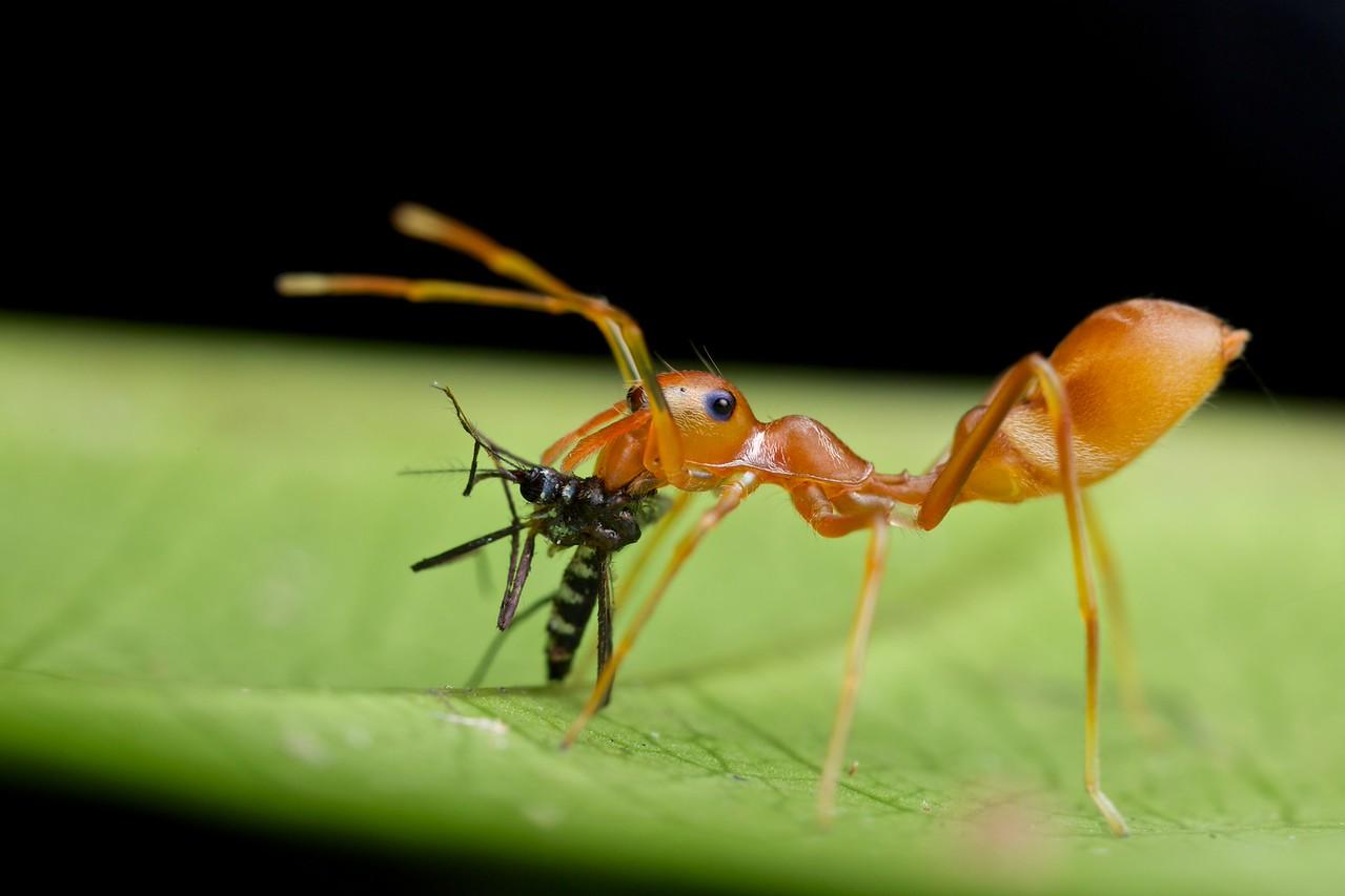 Weaver ant- mimicking jumping spider (Myrmarachne plataleoides) with prey