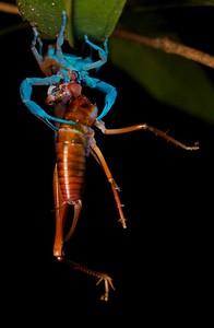 Scorpion with cricket prey under UV light