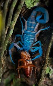 Scorpion under UV light feeding on cockroach