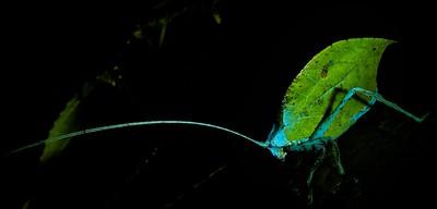 Leaf-mimicking katydid under UV light