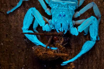 Scorpion (Babycurus gigas) with prey under UV light