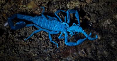 Scorpion cannibalism (Babycurus gigas) under UV light