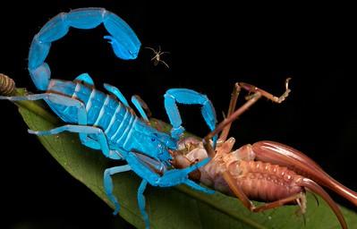 Scorpion (Babycurus gigas) with king cricket (Anostostomatidae) prey under UV light