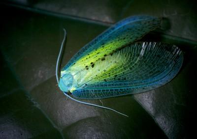 Green moth lacewing (Rapisma sp.) under ultravioloet light
