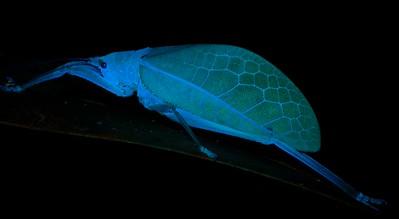 Leaf-mimicking katydid (Platyphyllum obtusum) under UV light