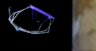 Net-casting spider with net under UV