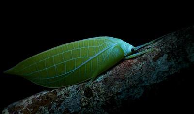 Leaf-mimicking katydid (Cratioma borneense) under UV light