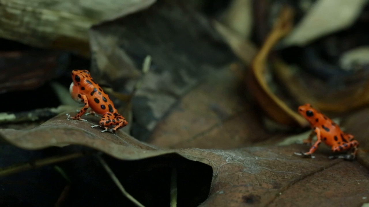 "Calling male strawberry poison arrow frog (Oophaga pumilio) ""Bastimentos"" morph with female in tow"