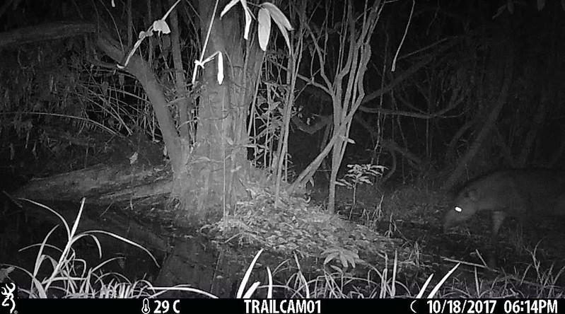 Terrestrial tapir (Tapirus terrestris) marking territory