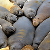 Pillow<br /> Elephant seals huddle together for warmth in the early morning hours.