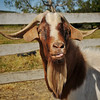 A farmers goat wonders what we are up too.