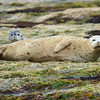 Seals resting at low tide near Otter Creek.  Detail.