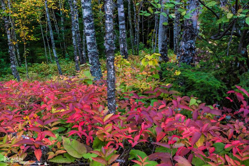 Birch Understory<br /> Tettegouche State Park, Minnesota