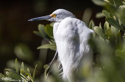 Mangrove Rest Stop Snowy egret resting among mangrove at Merritt Island National Wildlife Refuge, Titusville, Florida.