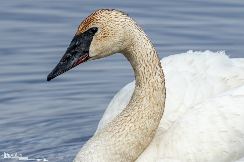 Swan Portrait II