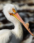 Pelican Portrait III