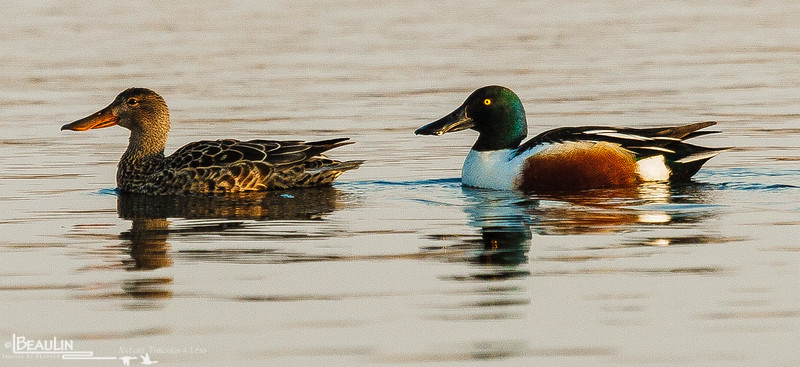 Northern Shoveler Pair<br /> Rice Lake, Morrison County, near Little Falls, Mn