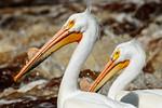 Patient Pelicans