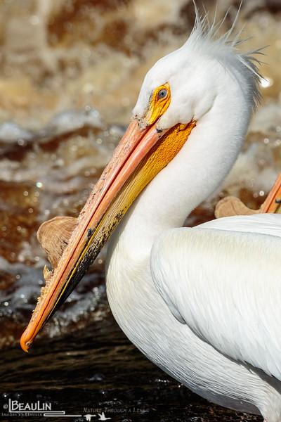 Pelican Portrait II