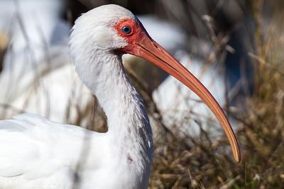 Ibis Portrait III Adult non-breeding white ibis, wintering at Merritt Island National Wildlife Refuge, Titusville, Florida.
