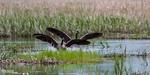 Splash Landing<br /> Canada goose pair landing at a State Wildlife Management Area near Randall, Mn.