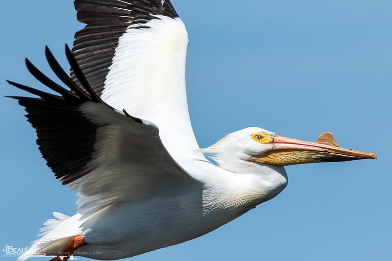 Airborn Pelican