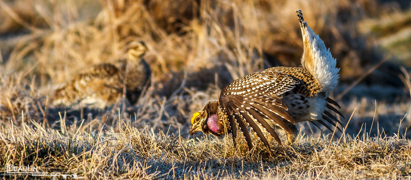 Shake, Rattle & Dance<br /> Sharp-tailed grouse displaying on a lek to attract a hen to his territory at Pomroy Pastures Ranch, Kanabec County, Kroschel, Mn