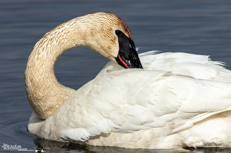Preening Swan II