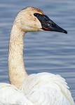 Swan Portrait III